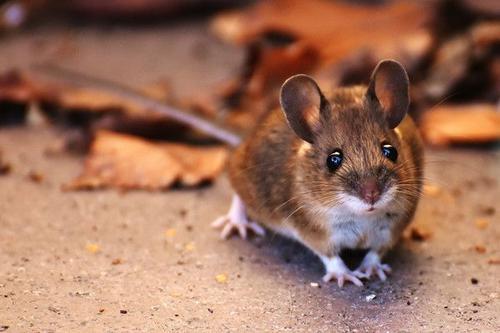 梦见老鼠,梦见老虎是什么意思?