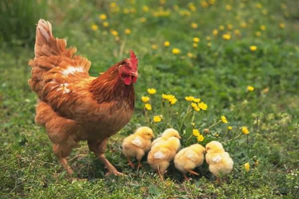 属鸡的人2021年运势如何,属鸡2021年运势分析