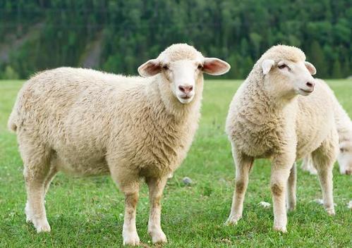 属羊最佳配偶的属相是什么?