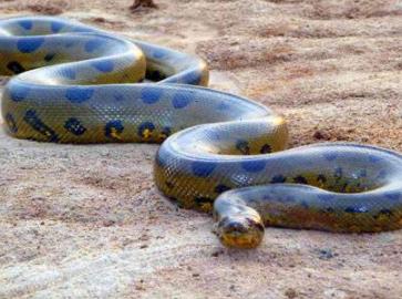 梦见蟒蛇缠身什么意思?