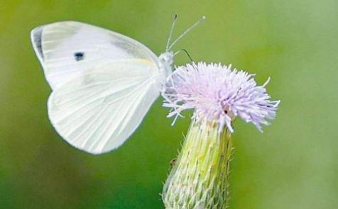 梦见白蝴蝶在面前飞什么意思?梦见白蝴蝶飞进家是什么预兆?