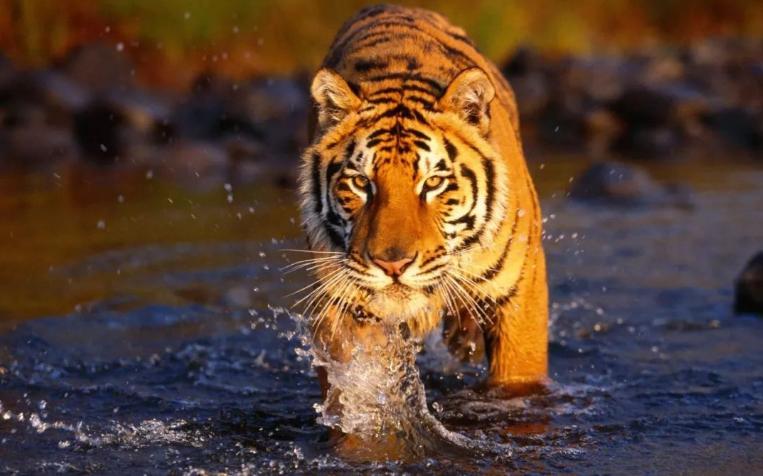 最新属虎与属虎的婚配状况